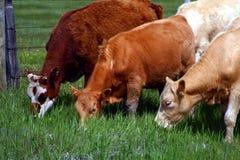 12头牛 库存照片