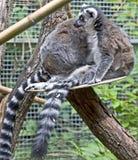 12尾部有环纹的狐猴 免版税库存照片