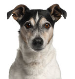 12接近的几年的插孔老罗素狗 库存照片