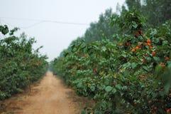 12杏子 库存图片