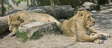12狮子 库存图片