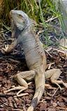 12绿色鬣鳞蜥 免版税库存照片