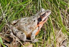 12青蛙 库存照片