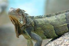 12鬣鳞蜥 免版税图库摄影