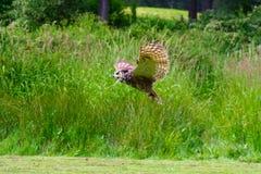 12 πετώντας μεγάλη κερασφόρος κουκουβάγια Στοκ Εικόνες