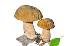12 гриба плащи-накидк Стоковое Фото