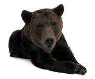 12 лет медведя коричневых лежа старых siberian Стоковые Фото