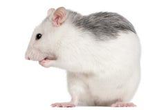 12 осиплых месяца старой крысы Стоковое фото RF