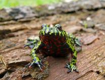 12 bellied жаба пожара Стоковое Изображение