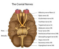 The 12 cranial nerves Stock Images