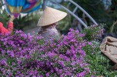 12,Dec,2016 -Female farmer harvest the European Michaelmas Daisy flower in Dalat- Lam Dong- Vietnam Royalty Free Stock Photos