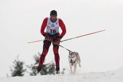 12. Europäisches sleddog laufende Meisterschaft Slowakei Stockbilder