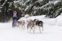 12. Europäisches sleddog laufende Meisterschaft Slowakei Stockbild