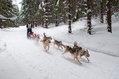 12. Europäisches sleddog laufende Meisterschaft Slowakei Stockfotografie