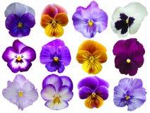 12 fleurs de pensées Photographie stock libre de droits