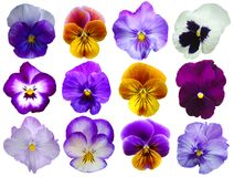 12 flores dos Pansies Fotografia de Stock Royalty Free