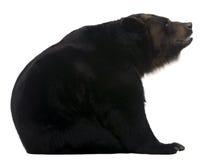 12 gammala siberian år för björnkvinnlig Arkivbild