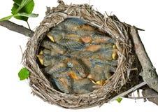 12 gniazdowy drozd Zdjęcie Royalty Free