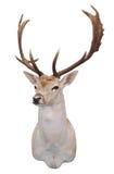 12 i träda head fullvuxen hankronhjort för punkt s Arkivfoto