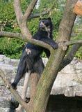 12 niedźwiedzia spectacled zdjęcie stock