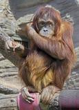 12 orangutan Zdjęcie Stock