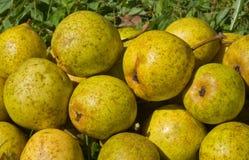 12 pears Royaltyfri Fotografi
