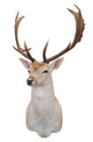 12 Point Fallow Stag's Head. Isolated with clipping path stock photo