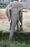 12 słonia Zdjęcia Royalty Free