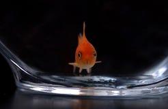 12 złotą rybkę Zdjęcia Royalty Free