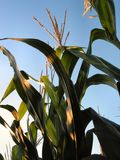 1217威严的玉米 免版税库存图片