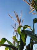1218威严的玉米 图库摄影