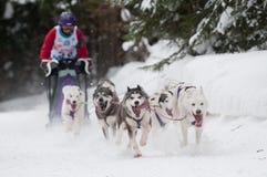 12de Europees sleddog het rennen Kampioenschap Slowakije Stock Fotografie