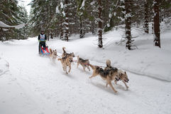 12th European sleddog racing Championship Slovakia Stock Photography