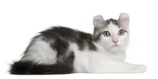13个美国卷毛小猫位于的老星期 免版税图库摄影
