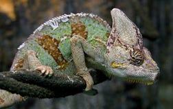13变色蜥蜴 免版税库存照片
