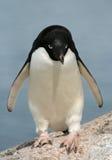 13只阿德力企鹅企鹅 库存照片