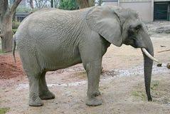 13大象 图库摄影