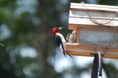 13朝向红色啄木鸟 图库摄影