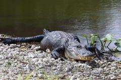 13条鳄鱼美国人 免版税库存照片