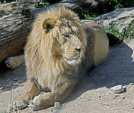13狮子 库存照片
