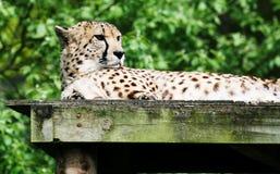 13猎豹 库存图片