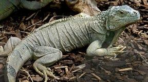 13绿色鬣鳞蜥 免版税图库摄影