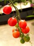 13蕃茄 免版税库存图片
