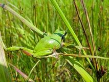 13雨蛙 免版税库存照片