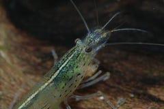 13 γαρίδες Στοκ Εικόνα