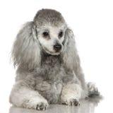 13 μήνες poodle Στοκ φωτογραφία με δικαίωμα ελεύθερης χρήσης