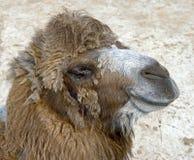13 bactrian kamel Arkivfoto