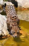 13 jaguara Zdjęcia Royalty Free