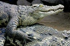 13 krokodil siam Royaltyfri Foto