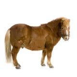 13 ponnyshetland år Royaltyfri Fotografi